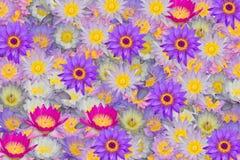 Många färger av bakgrund för textur för lotusblommablommor Royaltyfria Bilder