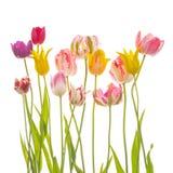 Många färgrika härliga tulpan arkivfoto