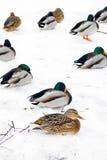 Många fåglar alps räknade trän för vintern för schweizare för snow för husplatsen lilla Arkivfoton