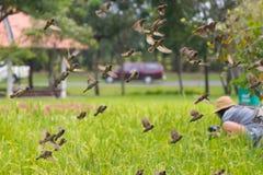 Många fåglar som ut flyger skrämma för flyttning för djurliv för fältrisfält djurt arkivfoton