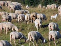 Många får i flocken av får på en bergäng Arkivfoton