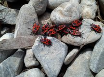 Många firebugs vaggar på Royaltyfria Foton