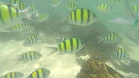Många fiskar i Krabi, SUMATRAN TIGER BARB arkivfilmer