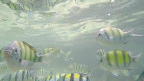 Många fiskar i Krabi, SUMATRAN TIGER BARB lager videofilmer
