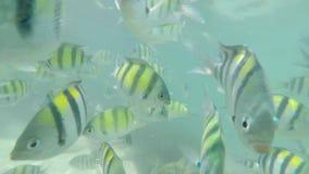 Många fiskar i Krabi, SUMATRAN TIGER BARB, ultrarapid arkivfilmer