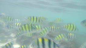 Många fiskar i Krabi, SUMATRAN TIGER BARB, ultrarapid lager videofilmer