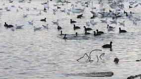 Många fiskmåsar, änder och svanar i sjön simmar och dyker Fåglar som matar i floden lager videofilmer