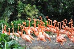 Många flamingo Fotografering för Bildbyråer