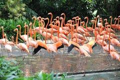Många flamingo Arkivbilder