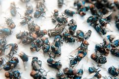 Många flyger och det smutsigt krypet och absolut flugan eller kadaver av flugan på whit Arkivbilder