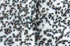 Många flyger och det smutsigt krypet och absolut flugan eller kadaver av flugan på whit Arkivfoto