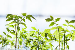 Många forsar av tomatväxten Royaltyfria Bilder