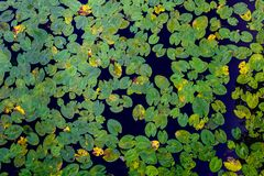 Många gör grön näckrosblad som ses från över Dekorativ modell av blad och vatten royaltyfria bilder