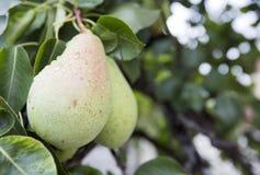 Många gör grön päron på ett träd Arkivfoto