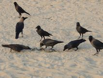 Många galanden äter havsormen på stranddjurlivet Arkivbilder
