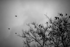 Många galanden som sitter på avlövat träd svart white Fotografering för Bildbyråer