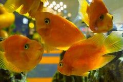Många ger första erfarenhet papegojan, cichlid somfiskar simmar i akvariet royaltyfri fotografi