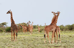 Många giraff som betar i den afrikanska busken, Serengeti reserv, Ta Royaltyfri Fotografi