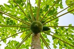Många gröna papayafrukter på träd fotografering för bildbyråer
