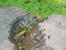 Många grodor i sjön med gröna växter Arkivfoto