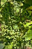 Många grupper av gröna druvor arkivbild