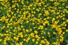 Många gul blomma Arkivfoto