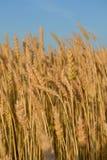 Många gula öron av råg i fältet arkivfoton