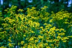 Många gula vildblommor i blom fotografering för bildbyråer