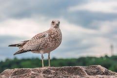 Många härliga seagulls fotografering för bildbyråer
