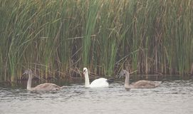 Många härliga vita och bruna svanar på sjön Royaltyfri Fotografi