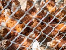 Många hönor i buren som äter maten på golvet Lantbruk & Ag royaltyfri foto