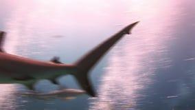 Många hajar under yttersidan av solen lager videofilmer