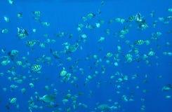Många hav av den lilla fisken i solljuset royaltyfria foton