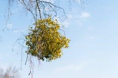Många hemiparasitic buskar av mistel på trädfilialer Gemensamt europeiskt mistelViscumalbum som växer på filialerna av björken fotografering för bildbyråer