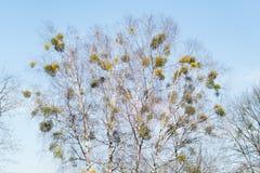 Många hemiparasitic buskar av mistel på trädfilialer Gemensamt europeiskt mistelViscumalbum som växer på filialerna av björken arkivfoto