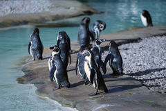 Många Humboldt pingvin Arkivfoto