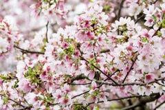Många körsbärsröd blomning Arkivfoton