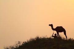 Många kamel Arkivbild