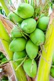 Många kokosnöt på kokospalmen Arkivfoto