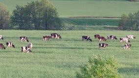 Många kor betar på en grön äng på en sommardag 4K lager videofilmer