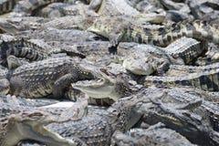 Många krokodiler Royaltyfri Fotografi