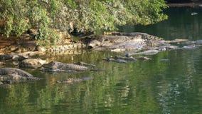 Många krokodiler i den lösa lögnen i en sumpig flod på kusten under ett träd thailand askfat stock video