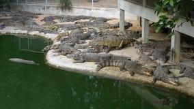 Många krokodiler ligger nära vattnet av grön färg Muddy Swampy River thailand askfat stock video