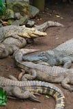 Många krokodiler på jord Arkivbilder