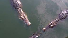 Många krokodiler simmar i det gröna sumpiga vattnet Muddy Swampy River thailand askfat stock video