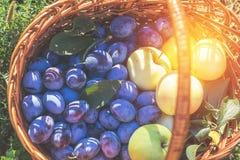 Många läckra nya saftiga färgrika sommarplommoner och äpplen Royaltyfria Foton