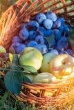 Många läckra nya saftiga färgrika sommarplommoner och äpplen Royaltyfria Bilder