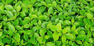 Många lämnar friskhet lilla gröna Chaplo bakgrund i örtagård arkivbilder