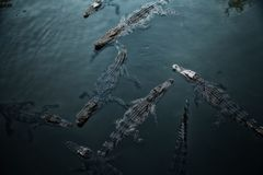 Många lösa krokodiler som simmar i mörkt krickavatten Royaltyfria Bilder
