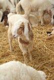Många lamm på lantgården Arkivbild